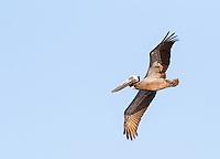 Brown Pelican in breeding colors, in flight