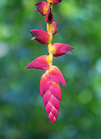 The colorful and beautiful heliconia flower.