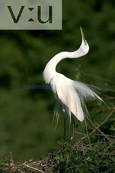 Great Egret displaying. (Casmerodius albus)