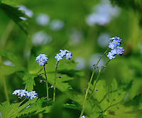 Myosotis stricta, Forglemmegei