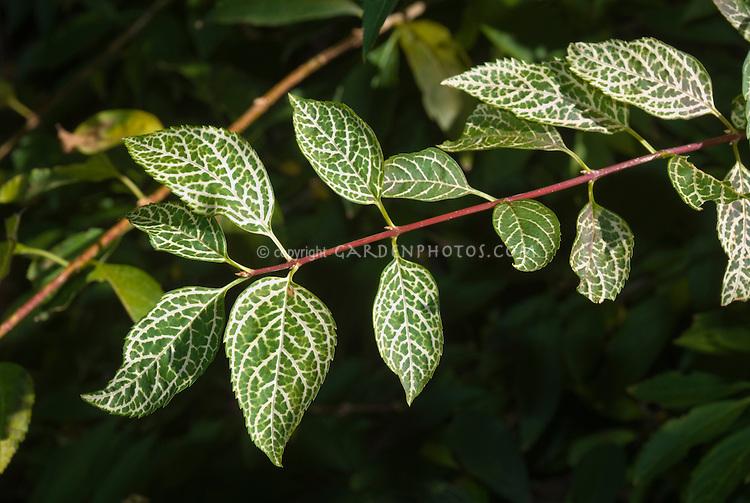 Forsythia variegated foliage 'Kumson'
