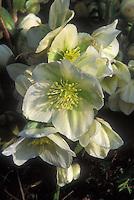 Helleborus nigercors, Hellebore in white flowers