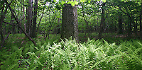 fern tree  forest Shenandoah 6-04-06. Photo/Andrew Shurtleff