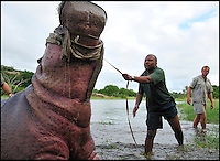 BNPS.co.uk (01202 558833).Pic: MikeD.Kock/BNPS..***Please use full byline***..How many vets does it take to round up a Hippo...(12)?..A dangerous lesson in how to safely give medicine to a two-tonne hungry hippo has been captured on camera by a veterinarian...Wildlife vet Michael Kock, 60, organised the risky operation in Zimbabwe, where experts were trying out a new dosage of drugs on the huge mammal...While veterinary students looked on and took notes the lethal animal was brought under control in crocodile infested waters after it was shot with a sedation dart...The exercise was organised to teach pupils how to safely give medicine to sick animals without putting themselves or the creatures in harm's way...The new mixture of drugs the vets used was designed to make the beast docile enough for people to get up close to, but not too sleepy the hippo would drown in the water...Until recently whenever wildlife experts have had to sedate a poorly hippo in order to give it medicine it often resulted in the animal drowning...Around 35 per cent of the hippos would drown because the drugs would temporarily knock out the animals' dive reflex, which allows them to breath under water...