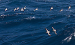 Antarctica Petrels Petrels riding the waves