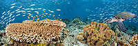 Table coral, schooling fusiliers and a hawksbill turtle, Eretmochelys imbricata, dominate this Indonesian reef scene. Komodo, Indonesia, Pacific Ocean, Three images were digitally combined to create this panorama.