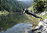Rocky, the Australian shepherd, leaps into Kelly Creek, near Pierce, Idaho, on Aug, 3, 2005. .Photo by Cathleen Allison