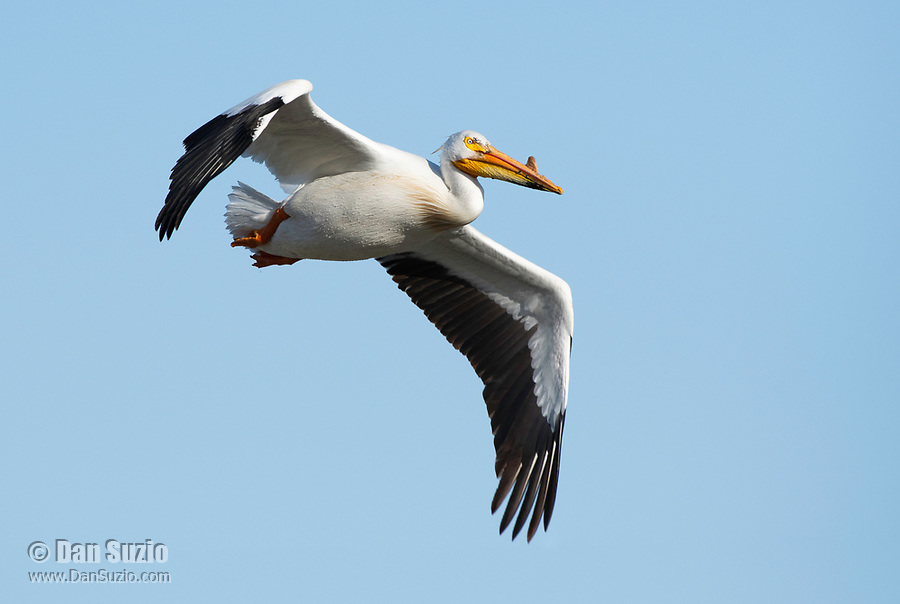 American White Pelican, Pelecanus erythrorhynchos, flies over Lower Klamath National Wildlife Refuge, Oregon