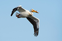 American White Pelican, Pelecanus erythrorhynchos, flies over Lower Klamath National Wildlife Refuge, Oregon
