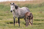 SEE MAIN IMAGES - REVEAL.<br /> <br /> HAVING A MARE OF A BAD HAIR DAY.<br /> <br /> A three week old foal looks on as it's mother struggles to get to her feet.<br /> <br /> The mare was throwing her neck and head forward to try and get momentum to get back on her feet, causing her mane to stick up.  The pair of New Forest ponies were spotted in the Christchurch area of the New Forest, Dorset.<br /> <br /> Please byline: Steve Hogan/Solent News<br /> <br /> © Steve Hogan/Solent News & Photo Agency<br /> UK +44 (0) 2380 458800