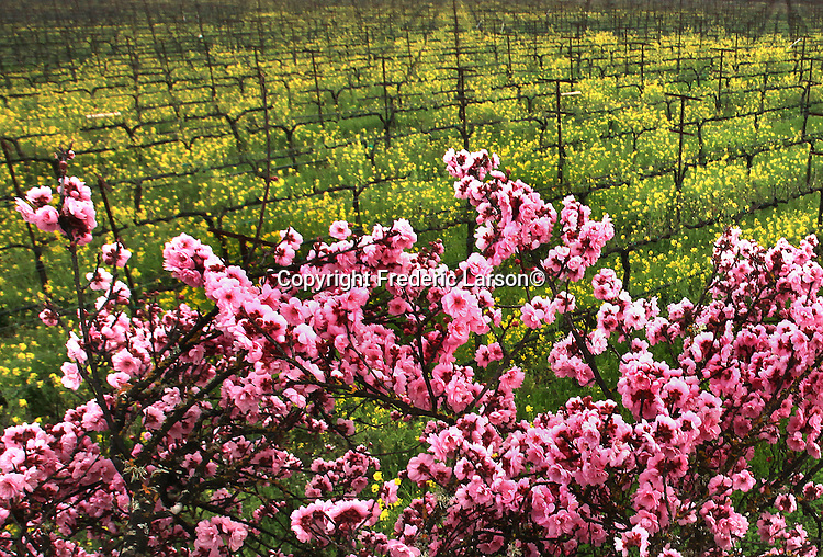 Fields of mustard an rows of cherry trees found it numerous vineyards throughout  Napa Valley, California.