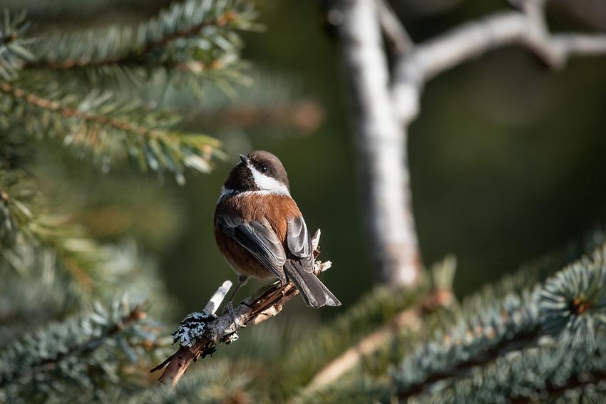 Chestnut-backed Chickadee, coastal Southcentral Alaska.