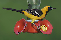 Hooded Oriole, Icterus cucullatus, male drinking from Hummingbird Feeder, Willacy County, Rio Grande Valley, Texas, USA