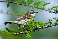 Yellow-rumped Warbler (Dendroica coronata) female rests in mixed forest along Lake Erie shoreline near Canada and USA border during annual spring migration northward  to summer breeding grounds. Some 63% of all Yellow-rumped warblers nest in Canada's boreal forest.
