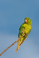 566700077 a wild green parakeet aratinga holochlora perched in a tree in laredo webb county texas united states
