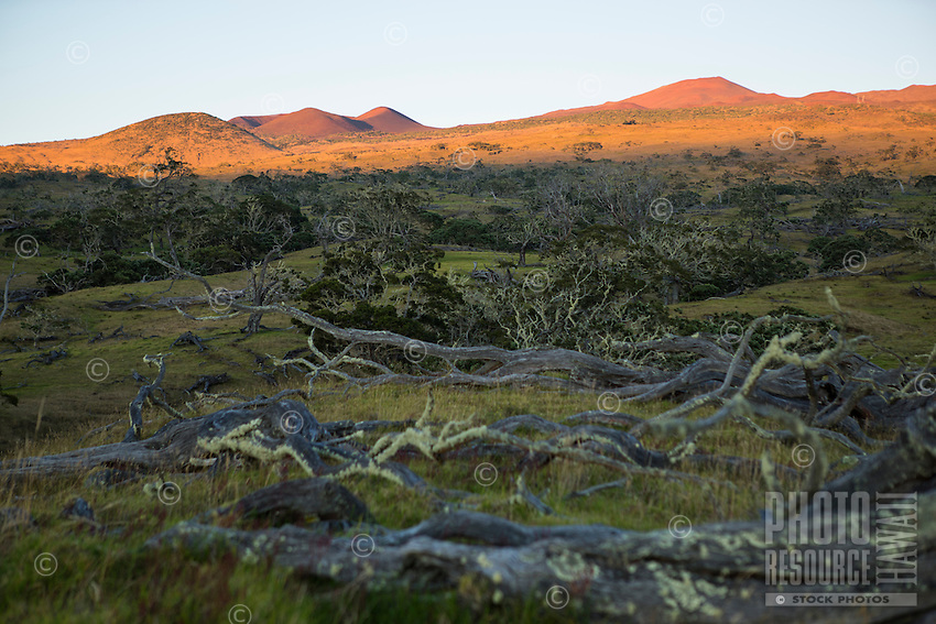 The first light of the day hits the hills on Mauna Kea, with koa trees in the foreground, Big Island.