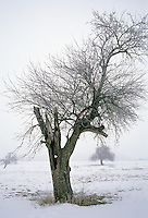 Fruit Trees with Hoar Frost