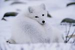 Arctic Fox, Churchill, Manitoba, Canada