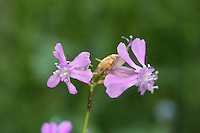 Sticky Catchfly Lychnis viscaria Height to 55cm. Upright perennial with sticky stems. Grows in dry, rocky places. Leaves are narrow-oval and paired. Flowers are pinkish-purple with 5 lobes. Status Rare, restricted to a few sites, mainly in Scotland but also in Wales.