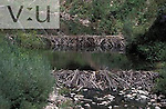 A Beaver dam (Castor canadensis) Durango, Colorado
