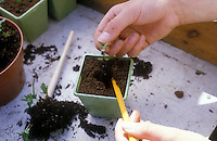 Starting plants from seeds, placing individual seedlings into single pots