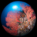 Misool, Raja Ampat, Indonesia; Fiabacet area, large red gorgonian sea fans with the sun overhead on the coral reef