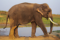 Asian elephant or Indian elephant(Elephas maximus) bull, India