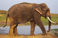 Asian elephant or Indian elephant(Elephas maximus) bull, India