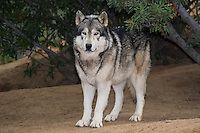 694920027 a captive male gray wolf dakota canis lupus at the wildlife waystation wildlife recovery and care facility in southern california