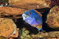 Kuckucks-Lippfisch, Kuckuckslippfisch, Streifenlippfisch, Lippfisch, Männchen, Labrus mixtus, Labrus bimaculatus, Cockoo Wrasse, Lippfische, Labridae