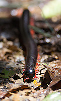 A huge millipede (close to a foot long) photographed in Borneo.