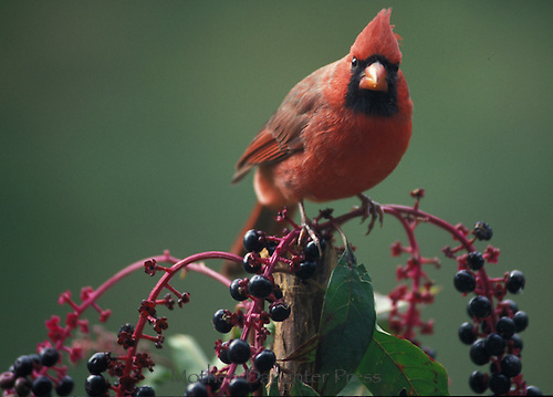 Cardinal with purple pokeweed berries, Missouri USA