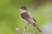 Eastern Phoebe, Sayornis phoebe, adult with nesting material, Uvalde County, Hill Country, Texas, USA, April 2006