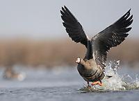 Goose, Bulgaria