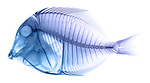 X-ray image of a powder blue tang fish (blue on white) by Jim Wehtje, specialist in x-ray art and design images.