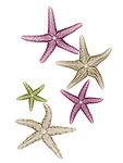 X-ray image of fuzzy sea stars (warm colors on white) by Jim Wehtje, specialist in x-ray art and design images.
