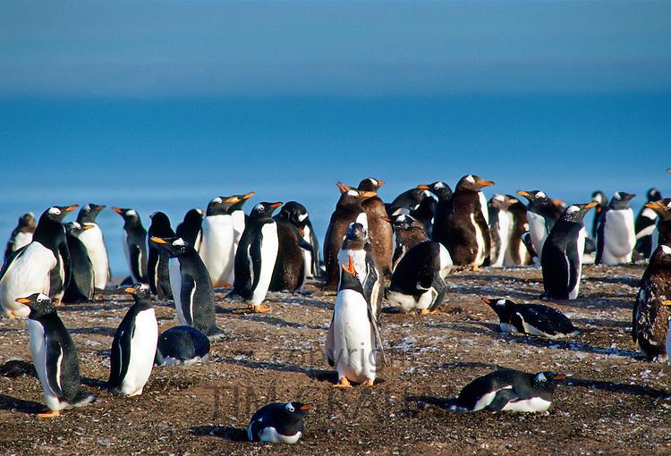 Gentoo Penguins, Falkland Islands RESERVED USE - NOT FOR DOWNLOAD -  FOR USE CONTACT TIM GRAHAM