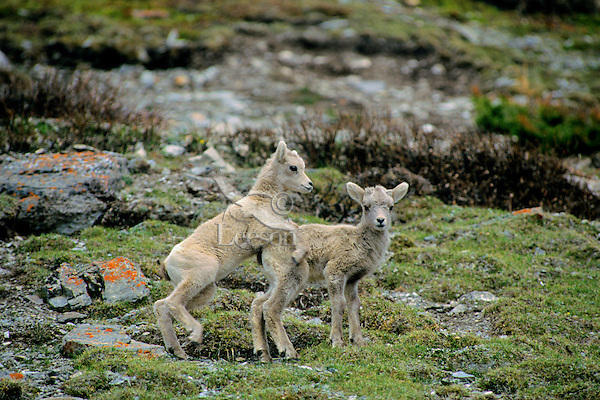 Young bighorn sheep (Ovis canadensis) lambs playing.  Northern Rockies.  June.