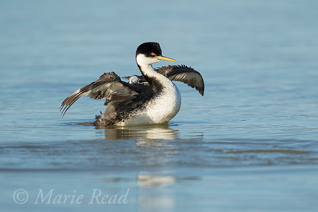 Western Grebe (Aechmophorus occidentalis), adult carrying chick, flapping its wings, Bear River Migratory Bird Refuge, Utah, USA