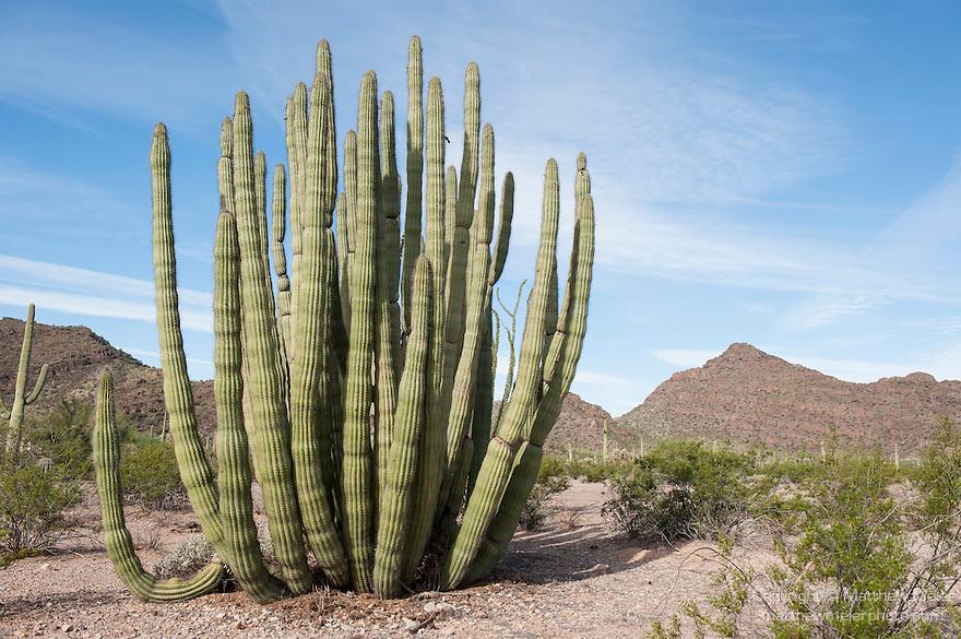 Organ Pipe Cactus National Monument, Arizona; a large Organ Pipe Cactus (Stenocereus thurberi) growing in the Sonoran Desert