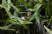 Pfeilkraut, Gewöhnliches Pfeil-Kraut, Sagittaria sagittifolia, Common Arrowhead, Sagittaire nageante, Sagittaire à feuilles en flèche