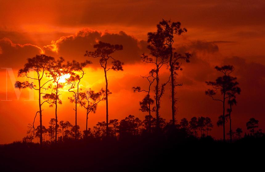 Slash pine hammock at sunrise.