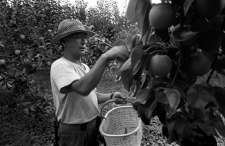 Apple farmer near Mount Iwaki in Hirosaki. Apple in Hirosaki is the most famous apple in Japan.
