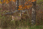 White-tailed doe in an autumn forest.