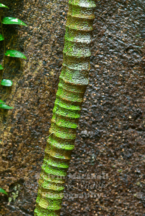 The tropical rainforests of South East Asia provide many photographic opportunities for keen macro enthusiasts, creating wonderful abstract patterns & designs. Danum Valley Conservation Area - Sabah (Borneo) - Malaysia