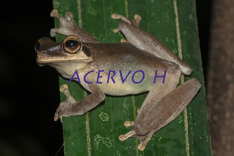 Osteocephalus sp.<br /> .<br /> O g&ecirc;nero Osteocephalus &eacute; bastante diverso na Amaz&ocirc;nia, mas muitas das esp&eacute;cies do grupo ainda n&atilde;o foram oficialmente descritas - ou seja, ainda n&atilde;o possuem nome cient&iacute;fico. Mais estudos de anatomia, gen&eacute;ticos e de comportamento s&atilde;o necess&aacute;rios para que a diversidade desse grupo seja compreendida. <br /> <br /> A maioria das esp&eacute;cies de Osteocephalus &eacute; arbot&iacute;cola, e os animais podem ser encontrados sobre a vegeta&ccedil;&atilde;o ou habitando o interior de plantas, seja o cano central de brom&eacute;lias, ou buracos em troncos de &aacute;rvore.<br /> .<br /> .<br /> Imagem feita em 2017 durante expedi&ccedil;&atilde;o cient&iacute;fica para a regi&atilde;o do Lago Tef&eacute;, Tef&eacute;, Amazonas, Brasil. A expedi&ccedil;&atilde;o, financiada pelo  Conselho Nacional de Desenvolvimento Cient&iacute;fico e Tecnol&oacute;gico, teve o abjetivo de reencontrar esp&eacute;cies de anf&iacute;bios descritas pelo explorador Johann Baptist von Spix no ano de 1824.