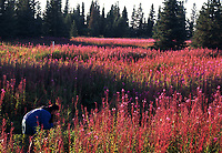 Eva Canedo takes time to enjoy the  fireweed, Kenai Peninsula