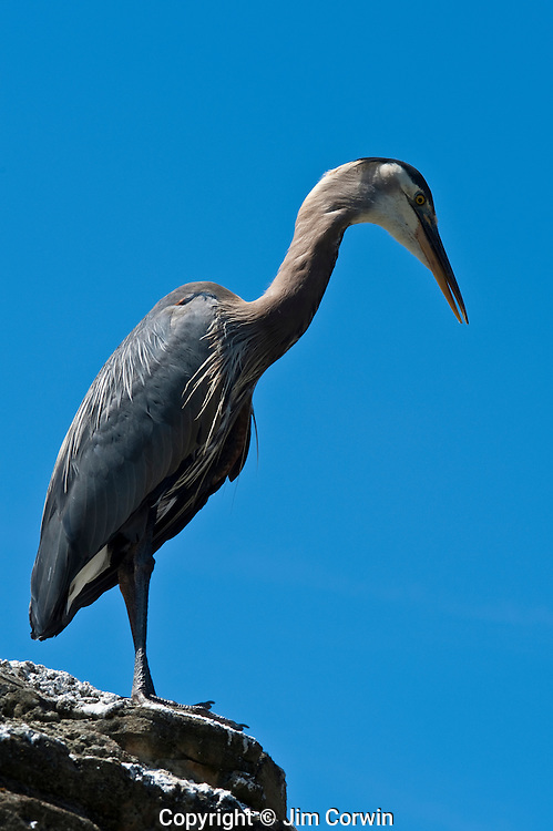 Blue heron standing on rock at Woodland park Zoo exhibit Seattle Washington