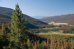 dying conifer forest, predominantly lodgepole pine, mountain pine beetle infestation, above Kawuneeche Valley, blue sky, Rocky Mountain National Park, Colorado, USA, Rocky Mountains