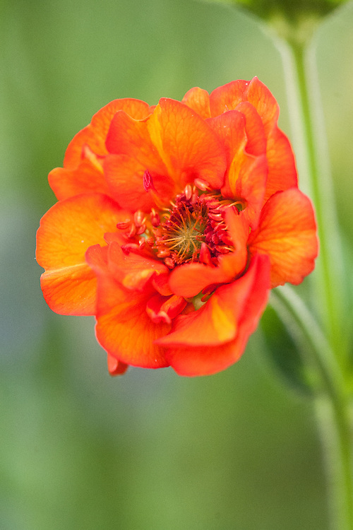 Geum 'Fire Opal', mid May.